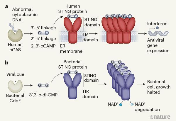최근 미국 하버드의대 연구팀은 동물의 씨가스-스팅(cGAS-STING) 경로(위)와 기능이 같은 경로가 박테리아에도 존재한다는 사실을 밝혀냈다(아래). 분자 진화 분석 결과 박테리아의 씨가스-스팅이 원조인 것으로 드러났다. 네이처 제공
