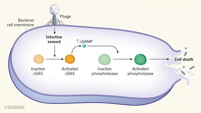 지난해 이스라엘 바이스만과학연구소 소렉 박사팀은 박테리아의 씨가스(cGAS) 단백질이 파지에 감염됐을 때 활성화돼 세포 자살을 유도하는 방어체계라는 사실을 밝혀냈다. 네이처 제공