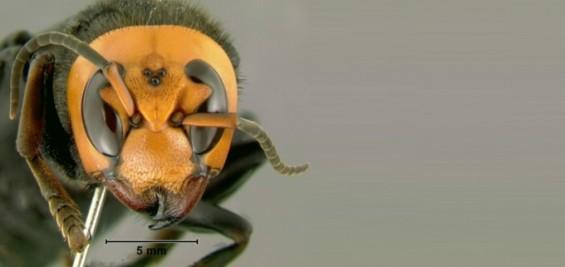 [강석기의 과학카페] 장수말벌, 북아메리카 접수할까
