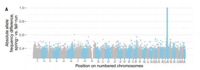 봄과 가을에 회귀하는 두 왕연어의 게놈을 서로 비교해 차이가 있는 부분을 막대 형태로 누적한 그래프다. 28번 염색체 부위에 유독 차이가 크게 나타난 부위가 하나 보인다. 사이언스 논문 캡쳐