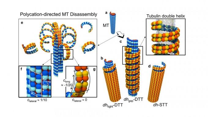 최명철 KAIST 바이오및뇌공학과 교수 연구팀은 미세소관을 구성하는 '튜불린' 단백질을 나노 소재 기초물질로 활용할 수 있는 기술을 개발했다. KAIST 제공