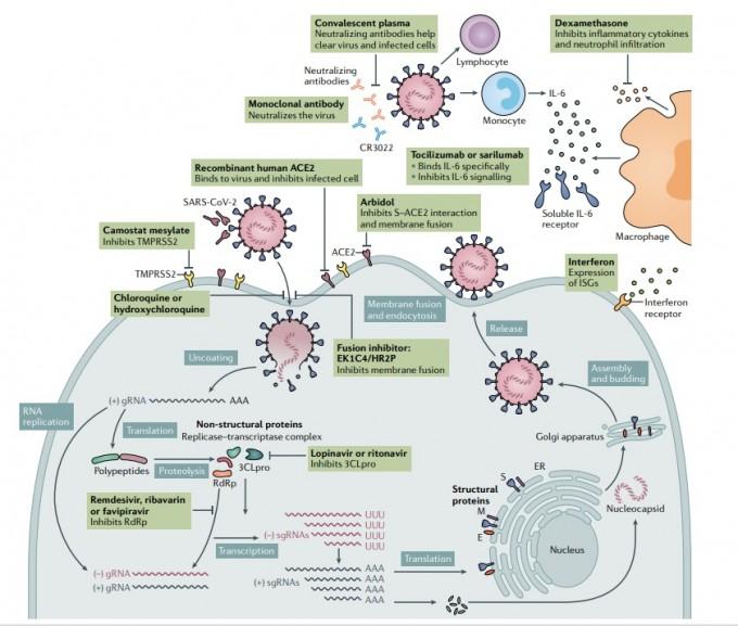 사스코로나바이러스-2가 인체 세포에 침투하는 다양한 경로를 표시하고 그 과정을 차단하는 치료제 후보물질을 사각형에 표시한 그림이다. 주로 바이러스 침투를 막는 약물, 게놈 복제나 단백질 생산을 억제하는 약물, 면역 물질 생산과 전파를 막는 약물 등으로 나뉜다. 네이처 리뷰 미생물학 논문 캡쳐