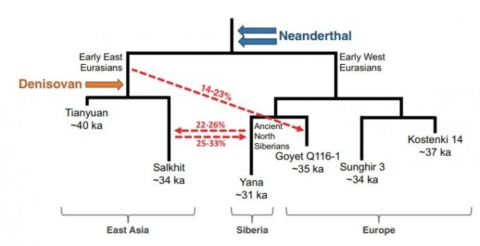 이번 분석 결과를 통해 동아시아인의 유전적 영향을 정리한 그림이다. 네안데르탈인이 가장 먼저 영향을 미쳤고, 이후 유라시아 서부와 동부 집단으로 나뉘었다. 하지만 서부 집단 일부는 북쪽 시베리아까지 영향을 미쳤고 이들과 일부 교류한 살킷 집단 역시 그 영향을 일부 받았다. 데니소바인은 살킷과 티앤유안인의 공통조상과 영향을 주고 받은 것으로 보인다. 사이언스 논문 캡쳐