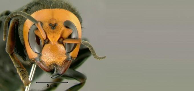 몸길이가 45밀리미터에 이르러 말벌 가운데 가장 큰 장수말벌은 커다란 턱으로 한 번에 꿀벌의 몸을 두 동강 낸다. 장수말벌 무리에 걸리면 꿀벌 수만 마리로 이뤄진 양봉 벌집이 순식간에 초토화된다. 위키피디아 제공
