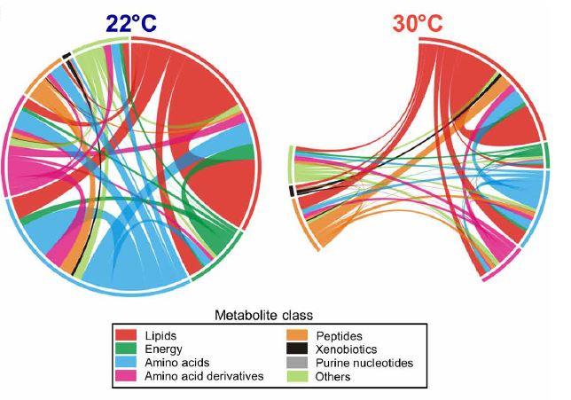 칼로리 제한(50%) 8일차에 채취한 혈액 시료의 대사체 분석을 통해 농도 변화를 보인 대사물질 사이의 상호관계를 보여주는 그래프다. 22℃에서 칼로리 제한으로 농도가 바뀐 대사물질이 더 많고 이들 사이의 상호관계도 더 복잡함을 알 수 있다.  '사이언스 신호전달' 제공
