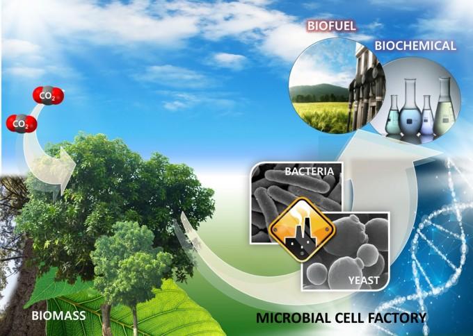 목질계 바이오매스를 원료로 미생물을 이용해 바이오연료를 생산하는 개념도 KIST 제공.