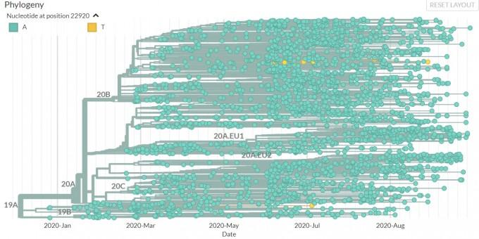유럽의 게놈 2700여 개를 분석한 결과 중 2만2920번 염기서열이 A인 경우(녹색)과 T로 변한 변이(노란색)를 찾은 계통도다. 위에 한 계통에 집중적으로 발견된 게놈은 덴마크에서 나온 변이고, 그 살짝 위에 있는 변이는 러시아에서 발견된 변이다. 아래 하나 떨어져 있는 게놈은 네덜란드의 밍크에서 나온 변이다. 넥스트스트레인 화면 캡쳐