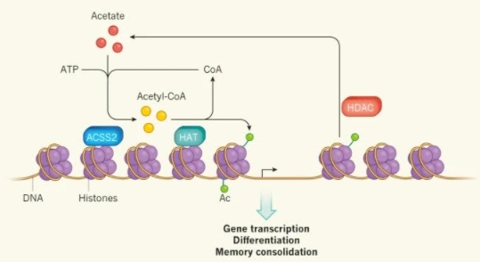 술을 마시면 에탄올이 간에서 대사돼 아세트산(acetate)로 바뀐다. 지난해 발표된 연구에 따르면 이 아세트산이 혈관을 따라 이동해 뇌의 해마에 있는 뉴런으로 들어가 아세틸-CoA로 바뀐 뒤 효소(HAT)의 작용으로 히스톤(보라색 공)에 달라붙는다(녹색 작은 공). 그 결과 DNA 가닥이 느슨해져 기억과 관련된 유전자 발현이 촉진된다. 수 시간 뒤 다른 효소(HDAC)의 작용으로 아세틸기가 떨어지며 DNA 가닥이 원래대로 감겨 유전자 발현이 억제된다. 네이처 제공