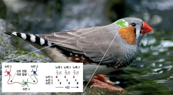 새가 '박치'가 아닌 이유, 뇌에서 찾았다