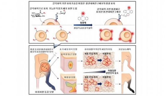 혈관질환 줄기세포 치료제 체내 이동 관찰하고 효능 예측한다