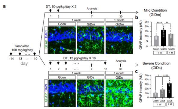 연구진은 새롭게 개발한 반응성 별세포(녹색 형광 표시)의 반응성 조절 모델을 통해, 뇌의 '경증 반응성 별세포(위)'는 약 1달 뒤 자연적으로 회복되는 반면, '중증 반응성 별세포'는 회복 없이 계속 반응성 별세포로 남아 있으며, 이 세포가 축적되면서 신경세포를 사멸시키고 치매를 진행시킨다는 사실을 확인했다. 네이처 뉴로사이언스 제공