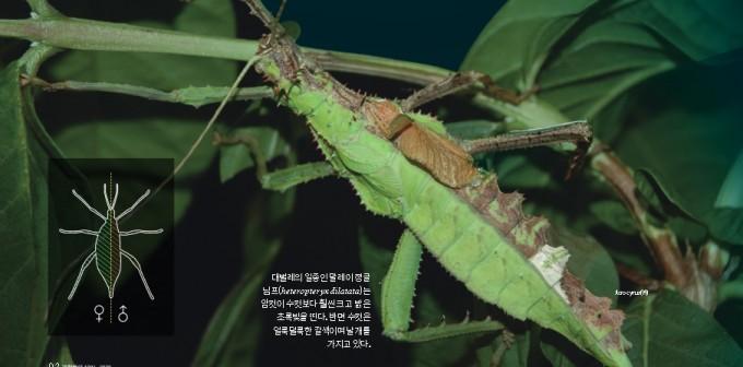 대벌레의 일종인 말레이정글님프는 암컷이 수컷보다 훨씬 밝은 초록빛을 띤다. 반면 수컷은 얼룩덜룩한 갈색이며 날개를 가지고 있다. 위키피디아 커먼즈
