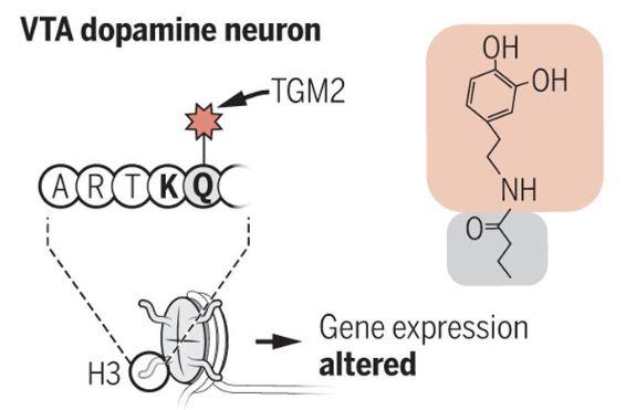 지난 4월 학술지 '사이언스'에는 신경전달물질 도파민(별사탕 모양)이 VTA 도파민 뉴런 히스톤의 글루타민(Q)에 달라붙어(효소(TGM2)의 작용으로) 후성유전적 작용으로 코카인 중독 행동을 유발한다는 사실을 밝힌 논문이 실렸다. 오른쪽 그림은 도파민 분자(위)가 글루타민(아래)과 결합한 구조를 보여준다. 사이언스 제공
