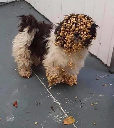 시리얼을 훔쳐 먹은 개