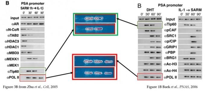 2005년 셀 논문(왼쪽)과 2006년 PNAS 논문에 사용된 비슷한 이미지의 사례다. 백 교수는 같은 이미지가 맞으며, 미국 연구실에서 수행한 실험 결과를 바탕으로 후임 박사후연구원이 셀 논문을 쓰면서 PNAS 논문에 들어가야 할 데이터 두 개(알파Tip60, 알파PloII)를 잘못 추가했다고 밝혔다. 백 교수의 원본 데이터에는 맨 아래 두 데이터가 없다. 펍피어 화면 캡쳐