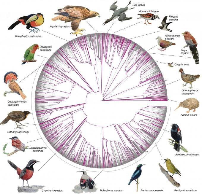 계통분류학 정보를 이용해 1만135종의 조류를 분류한 계통도다. 이번 연구를 통해 해독한 363종의 실제 조류 게놈은 보라색으로 표시했다. 전체 조류 과의 92.4%가 이번 연구를 통해 분석됐다.  회색 반호로 표시한 부분(아래)는 조류 중 가장 많은 종(6063종)이 포함된 참새목이다. 이 안에 명금류 등 다양한 종이 포함돼 있다. *표는 닭, **는 핀치새를 표시한 것이다. 네이처 논문 캡쳐