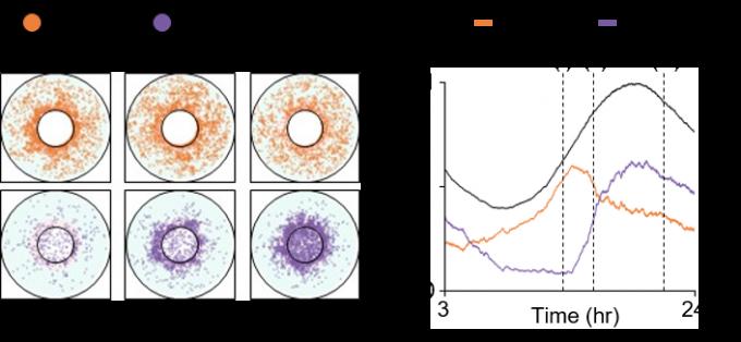 수리모형을 통해 시뮬레이션한 시간에 따른 세포 내 PER 단백질의 움직임(왼쪽)과 PER 단백질의 양 그래프다. 인산화가 완료되지 않은 PER 단백질(주황색)이 세포핵 주위에 계속해서 응축된다(i). 이렇게 응축된 PER 단백질이 일정량 이상이 되면 함께 인산화되고(보라색, ii) 함께 세포핵 속으로 들어간다(iii). 연구팀은 이 과정이 지방 액포 등으로 방해 받으면 수명 불안정이 일어난다고 봤다. 여기에 영향을 미치는 요인이 비만과 치매, 노화다. KAIST 제공