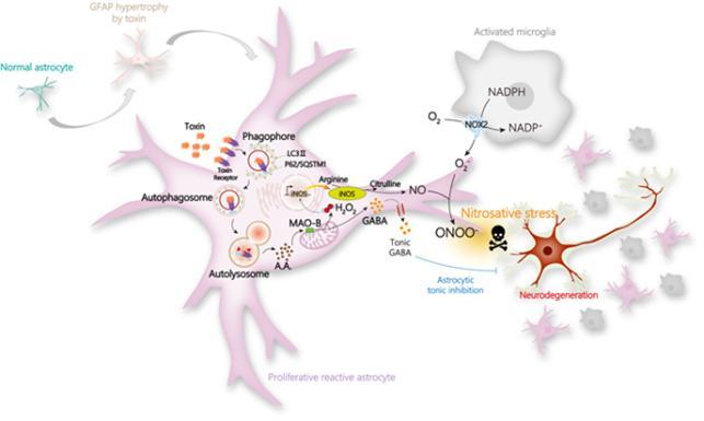 별세포는 독소에 노출되면 반응성 별세포로 기능이 변화한다. 중증 반응성 별세포가 됐을 때엔 신경세포 사멸을 포함한 치매 병증이 촉진된다. 이 과정에서 마오비(MAO-B) 효소의 활성 증가 및 과산화수소 생성이 중요한 역할을 한다는 사실도 밝혀졌다. 과학기술정보통신부 제공