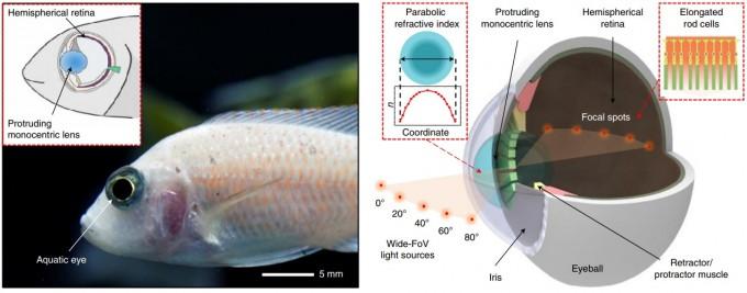 물고기의 눈은 구조가 단순하지만 먼 거리까지 초점이 선명하고 시야각이 넓다. 이 같은 특성은 돌출된 하나의 수정체와 반구 모양의 망막에 있다(오른쪽 그림). 네이처 일렉트로닉스 논문 캡쳐