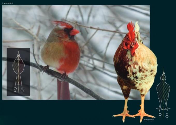 미국 웨스턴 일리노이대 연구팀이 발견한 자웅 모자이크 북부홍관조(위)와 영국 에든버러대 연구팀이 2004년 국제학술지 ′네이처′에 발표한 자웅모자이크 닭(오른쪽). 출처 셜리 카드웰 (shirley cardwell)