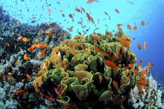해조류 먹어 치우는 게를 풀자 산호가 살아났다