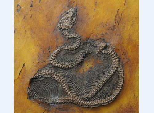 척추뼈 선명히 드러낸 4천700만년 전 비단뱀 최고(最古) 화석