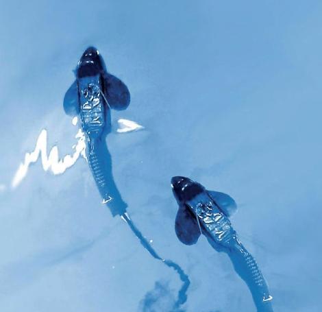 독일 막스플랑크 동물행동연구소 소장이 이끄는 국제 공동연구팀이 실험에 사용한 로봇 물고기. 딱딱한 머리 부분과 유연하게 움직일 수 있는 몸 뒷부분으로 구성돼 있으며