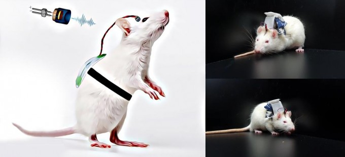 개발된 무선 착용형 뇌 자극 시스템 생쥐에 착용시켜 실험하고 있다. KIST 제공.