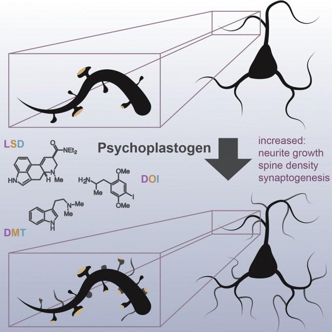 LSD를 비롯한 여러 사이키델릭은 정신가소제(psychoplastogen)로 신경돌기(neurite) 성장과 가시(spine) 밀도, 시냅스생성에 즉각적인 영향을 미친다. 현재 이들 물질의 부작용을 줄인 약물을 설계하는 연구가 활발하게 진행되고 있다.  셀 리포츠 제공