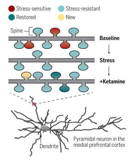 지난 2000년 마취제인 케타민을 저용량으로 쓰면 우울증에 효과가 크다는 사실이 처음 밝혀졌고 19년 만에 광학이성질체인 에스케타민이 항우울제로 출시됐다. 에스케타민은 기존 항우울제와는 달리 전전두엽 뉴런의 신경가소성을 활성화해 신경회로를 정상으로 회복시켜 효과를 낸다. 예를 들어 지속적인 스트레스로 뉴런 수상돌기 가시(spine)의 일부가 손상된 상태에서 케타민을 투여하면 손상이 복원되고 새로 생기기도 해 정상적인 신경회로가 복원된다. 사이언스 제공