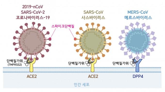 코로나19가 숙주 세포 속으로 침투하는 과정을 나타낸 모식도(왼쪽). 코로나19 표면에 있는 돌기 모양의스파이크 단백질이숙주세포의 안지오텐신전환효소2(ACE2)와 결합하면퓨린 단백질분해효소(TMPRSS2)가 스파이크 단백질의 일부분을 자르고비로소 세포 내로 침투한다.기초과학연구원(IBS) 제공