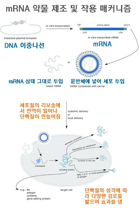 mRNA 약물의 제조 및 작용 메커니즘을 보여주는 도식이다. 시험관에서 DNA이중나선(위 왼쪽)을 주형으로 해 mRNA를 만든 뒤(위 오른쪽) 그 상태 그대로(가운데 왼쪽) 또는 운반체에 넣어(오른쪽) 세포에 투입하면 세포질의 리보솜에서 번역이 일어나 단백질이 만들어진다. 단백질의 성격에 따라 다양한 경로를 밟으며 효과를 낸다. 중개의학저널 제공