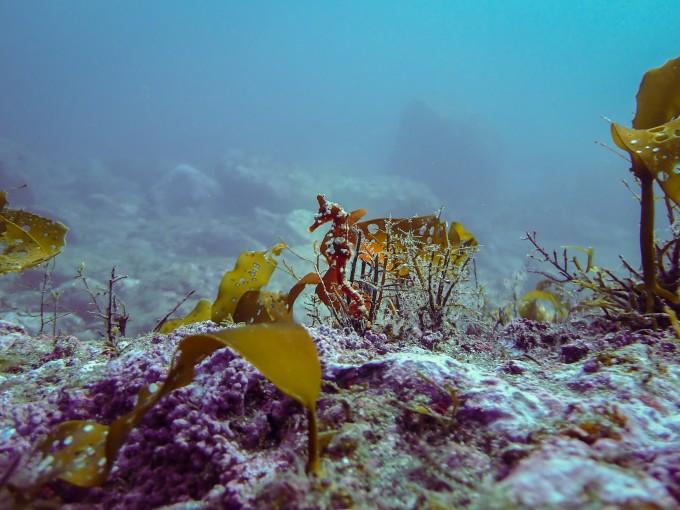 독도 혹돔굴 주변에서 발견된 해마. 한국해양과학기술원 제공