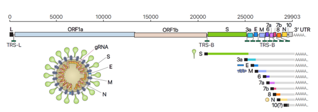 사스코로나바이러스-2(SARS-CoV-2)의 유전체RNA 및 하위유전체RNA 구성, 바이러스 입자 구조의 모식도. IBS 제공