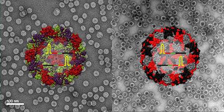 연구진이 개발한 양성대조군을 투과전자현미경(TEM)으로 관찰한 모습이다. 왼쪽이 식물 바이러스 기반으로 만든 나노입자이며 오른쪽이 박테리오파지 기반으로 만든 나노입자다.
