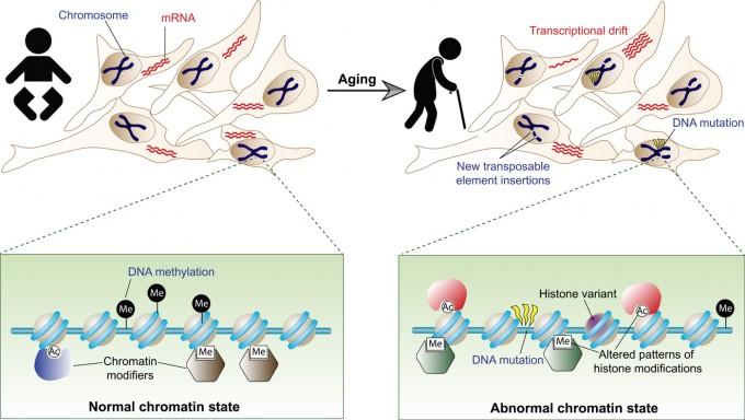 갓 태어난 아기의 세포는 소속된 조직이나 기관에 딱 맞는 후성유전적 패턴을 지니고 있어 유전자 발현(mRNA)이 정상적으로 일어난다(왼쪽). 그러나 나이가 들수록 패턴에 오류가 쌓이면서(예를 들어 DNA메틸화가 없어지거나 생기는 반응) 유전자 발현도 비정상이 돼(transcriptional drift) 세포가 노화한다. 2013년 스티브 호바스는 DNA메틸화 패턴 변화를 분석해 생물나이를 추정하는 알고리듬을 개발했다.