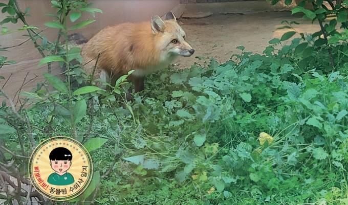 청주동물원에 막 도착한 붉은 여우 ′김서방′의 모습. 청주동물원 제공