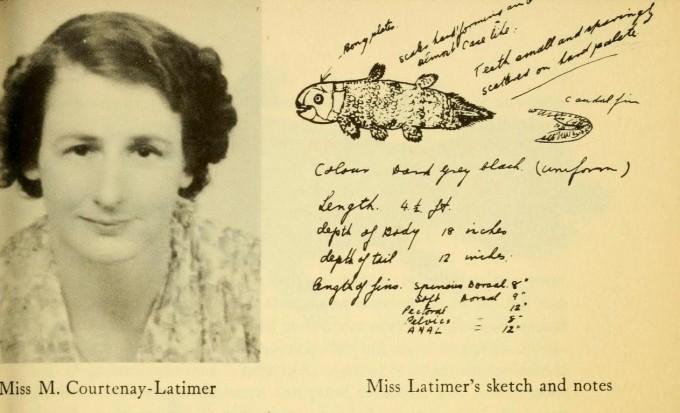 1938년 12월 23일 남오공 이스트런던박물관의 학예사 마조리 코트니-래티머는 부두에 갔다가 그물에 걸려 잡힌 실러캔스를 보고 사왔다. 오른쪽은 코트니-래티머가 그린 스케치와 특징을 요약한 메모다. 출처미표기