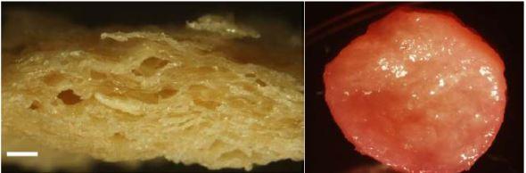 지난해 이스라엘 테크니온공대 연구자들은 다공성인 조직콩단백질(콩고기) 틀(왼쪽)에 소의 근육줄기세포와 평활근세포를 배양하면 질감이 진짜 근육과 비슷한 세포고기를 얻을 수 있음을 발견했다(오른쪽). 이를 기반으로 한 세포고기 스테이크가 조만간 선보이지 않을까.  ′네이처 음식′ 제공
