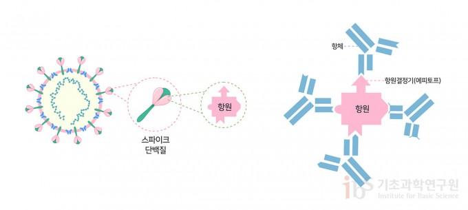 코로나19 바이러스 백신은 인체 면역계가 바이러스의 스파이크 항원을 인식하는 중화 항체를 생성하도록 설계된다. 스파이크 단백질 항원의 다양한 항원결정기에 대하여 각각 특이적인 다클론성 항체가 생성된다.
