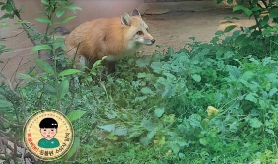 [슬기로운 동물원 생활] 청주동물원의 불청객 붉은여우 구출작전