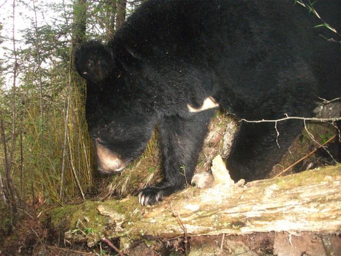 아시아흑곰으로도 불리는 반달가슴곰은 서식지에 숲이 많아야 하지만 판다의 거주지를 위해 숲이 사라지면서 거주지 또한 줄어들었다. 미시간주립대 제공