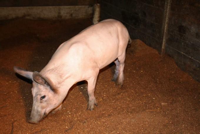 돼지에서 수면무호흡증 비밀 밝힐까