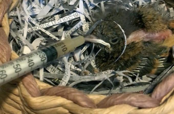마승애 수의사가 탈수 증세가 보이는 딱새에게 탈수를 교정하는 액체를 만들어 먹어딘 모습. 마승애 제공