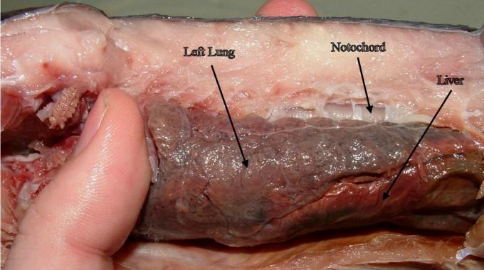 폐어는 물고기임에도 이름 그대로 호흡 기능이 있는 폐를 지니고 있다. 호주폐어는 폐호흡이 보조적인 역할을 하지만 나머지 5종은 자라면서 아가미가 퇴화해 폐호흡에 전적으로 의존하고 있다. 반점아프리카폐어의 폐다. 위키피디아 제공