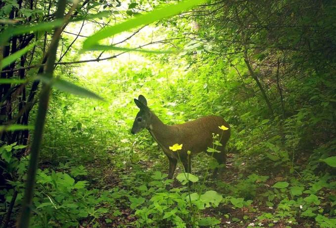 중국숲사향노루도 판다의 서식지 보호정책으로 서식지가 줄어들었다. 미시간주립대 제공