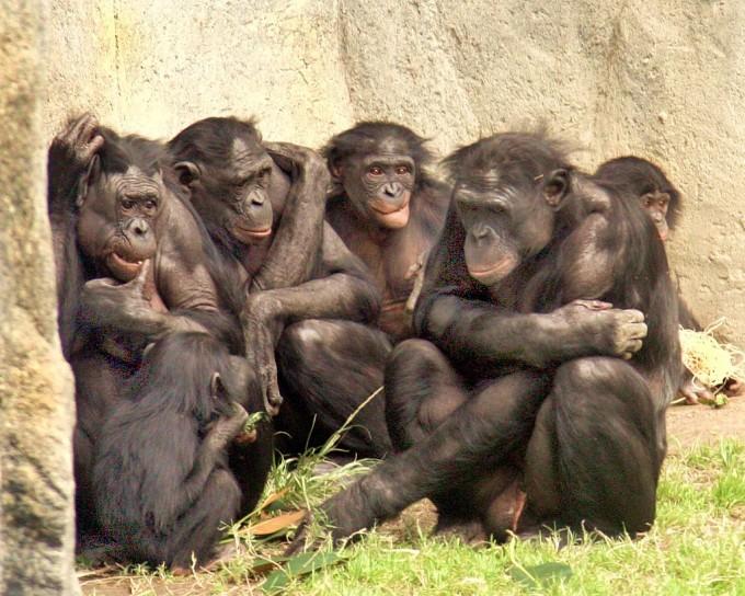 보노보는 침팬지와 90만~210만 년 전 갈라진 뒤 자기 길들이기를 통해 반응적 공격과 주도적 공격 모두 자제하는 관대한 종이 됐다. 그럼에도 사람 옆에 성체 보노보를 자유롭게 놔두는 것은 여전히 위험하다. 보노보 무리의 모습이다. 위키피디아 제공