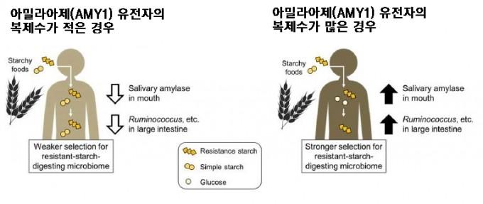 인간의 유전형과 미생물총에 따라 같은 음식을 먹어도 효과가 다르게 나타난다. 예를 들어 서구인들처럼 아밀라아제(AMY1) 유전자의 복제수가 적은 경우 탄수화물을 섭취했을 때 녹말(simple starch)이 채 소화가 안돼 대장에서 이를 소화하는 미생물이 우점종이 되면서 식이섬유(resistance starch) 소화 미생물이 밀린다. 반면 한국인처럼 복제수가 많으면 대장에 거의 식이섬유만 넘어오므로 이를 소화해 대사산물을 내놓는 미생물(Ruminococcus 등)이 쉽게 증식해 인체에 더 큰 영향을 미친다. 사이언스 제공
