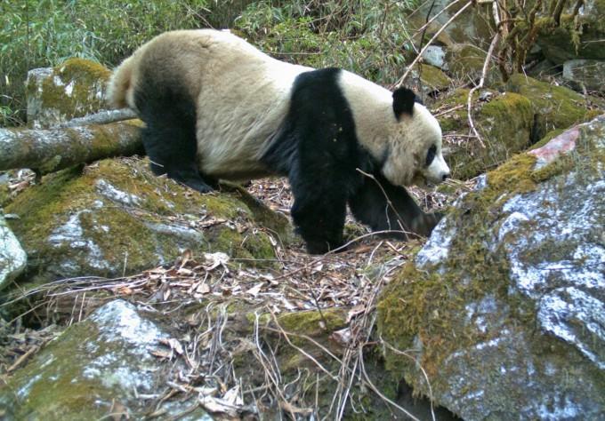중국의 보호 정책으로 점차 개체수가 늘어가는 대왕판다가 자연보호 구역 내 카메라에서 포착된 모습이다. 이와 달리 다른 멸종위기종들은 판다 보호의 여파로 서식지를 잃어가는 것으로 나타났다. 미시간주립대 제공