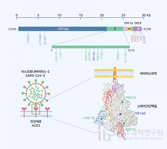 영국에서 발생한 B117 사스코로나바이러스-2 변이체와 스파이크 돌연변이. 8개의 스파이크 돌연변이 중에서 기능적으로 중요할 것으로 예상되는 3개의 돌연변이(초록색)만 3차 구조 모식도에 표시하였다. 기존의 D614G 돌연변이(D614G) 위치도 참고로 표시하였다. IBS 제공